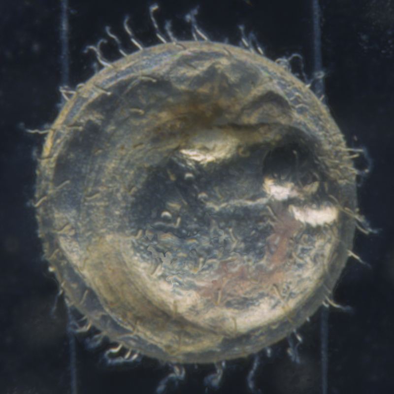 Medaka Embryo Captured using TL3000 ST transmitted light base